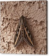 Huge Moth On Stucco In Las Vegas Acrylic Print