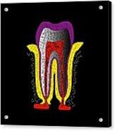 Human Tooth Anatomy, Artwork Acrylic Print