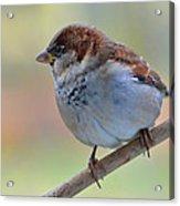 Humble Housesparrow Acrylic Print