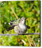 Hummer Takes A Shower Acrylic Print