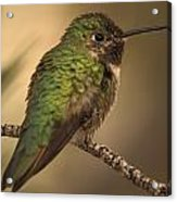 Humming Bird On Branch Acrylic Print