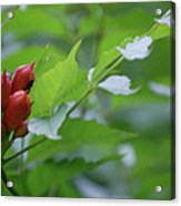 Humming Buds By Jammer Acrylic Print