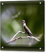 Hummingbird - Bird Acrylic Print