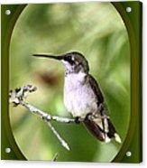 Hummingbird - Gold And Green Acrylic Print