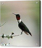 Hummingbird - Just The Tip Acrylic Print