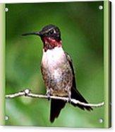 Hummingbird - Male - Will Soon Be Grown Acrylic Print