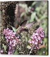 Hummingbird - Ruby-throated Hummingbird - Chopper Acrylic Print