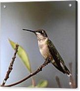 Hummingbird - Ruby-throated Hummingbird - Near The End Acrylic Print