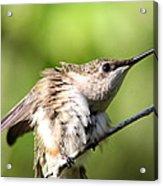 Hummingbird - Ruby-throated Hummingbird - Stretch Time Acrylic Print