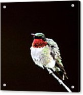 Hummingbird - Ruffled Feathers Acrylic Print