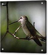 Hummingbird - Under The Canopy Acrylic Print