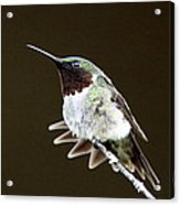 Hummingbird - Wide Tail Acrylic Print
