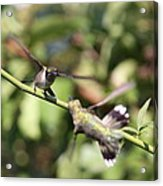 Hummingbird - You Have Done It Now Acrylic Print