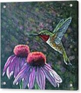 Hummingbird And Cone Flowers Acrylic Print by Diana Shively
