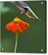 Hummingbird And Mexican Sunflower Acrylic Print
