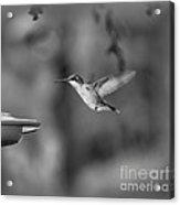 Hummingbird  Black And White Acrylic Print
