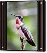 Hummingbird Card Acrylic Print