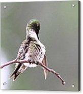 Hummingbird - Cleaning Up Acrylic Print