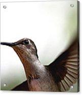 Hummingbird - Closeup Acrylic Print