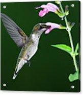 Hummingbird Feeding On Pink Salvia Acrylic Print by DansPhotoArt on flickr