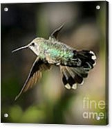 Hummingbird Fly By Acrylic Print