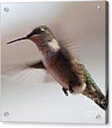 Hummingbird Flying In Mid Air  Acrylic Print