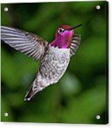 Hummingbird Glory Acrylic Print