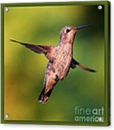Hummingbird Hello Acrylic Print