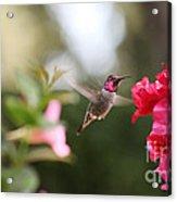 Hummingbird In Bougainvillea Acrylic Print