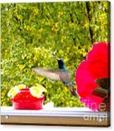 Hummingbird In Cuenca Ecuador Vii Acrylic Print