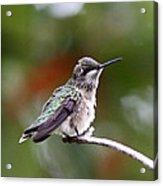 Hummingbird - Little Friend Acrylic Print
