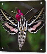 Hummingbird Moth - White-lined Sphinx Moth Acrylic Print