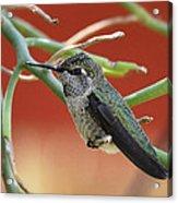 Hummingbird Nap Time  Acrylic Print
