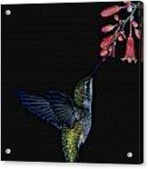 Hummingbird No 2 Acrylic Print