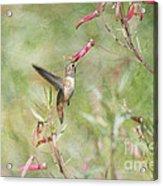 Hummingbird Nourishment Acrylic Print