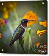 Hummingbird On Guard - Artist Cris Hayes Acrylic Print