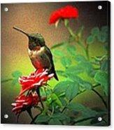 Hummingbird On The Rose Acrylic Print