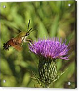 Hummingbird Or Clearwing Moth Din141 Acrylic Print
