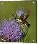 Hummingbird Or Clearwing Moth Din178 Acrylic Print