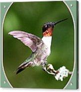 Hummingbird Photo - Light Green Acrylic Print