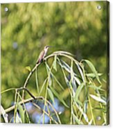 Hummingbird Resting In The Willow Acrylic Print