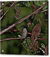 Hummingbird Waiting For Dinner Acrylic Print
