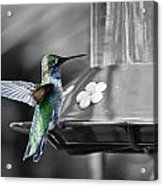 Hummingbird Wings II Acrylic Print