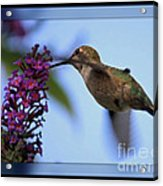 Hummingbird With Blue Border - Digital Painting Acrylic Print