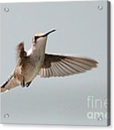 Hummingbird With Tongue Out Acrylic Print