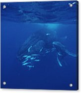Humpback Whale Calf And Mother Acrylic Print