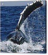 Humpback Whale Flipper Slap Hawaii Acrylic Print