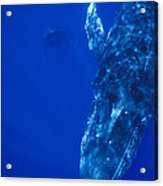 Humpback Whale Singer And Joiner Maui Acrylic Print
