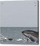 Humpbacks Breeching Acrylic Print