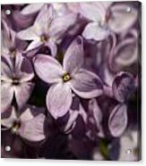 Hungarian Lilac Nr 9 Acrylic Print